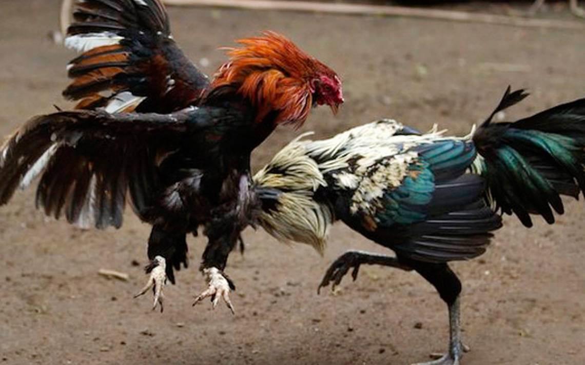 Veracruz da el primer paso para la prohibición de las peleas de gallos en México