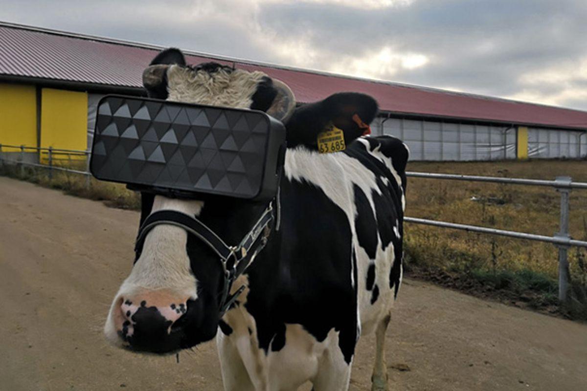 """Implementan lentes de RV en vacas para hacerlas sentir en """"campos veraniegos"""""""