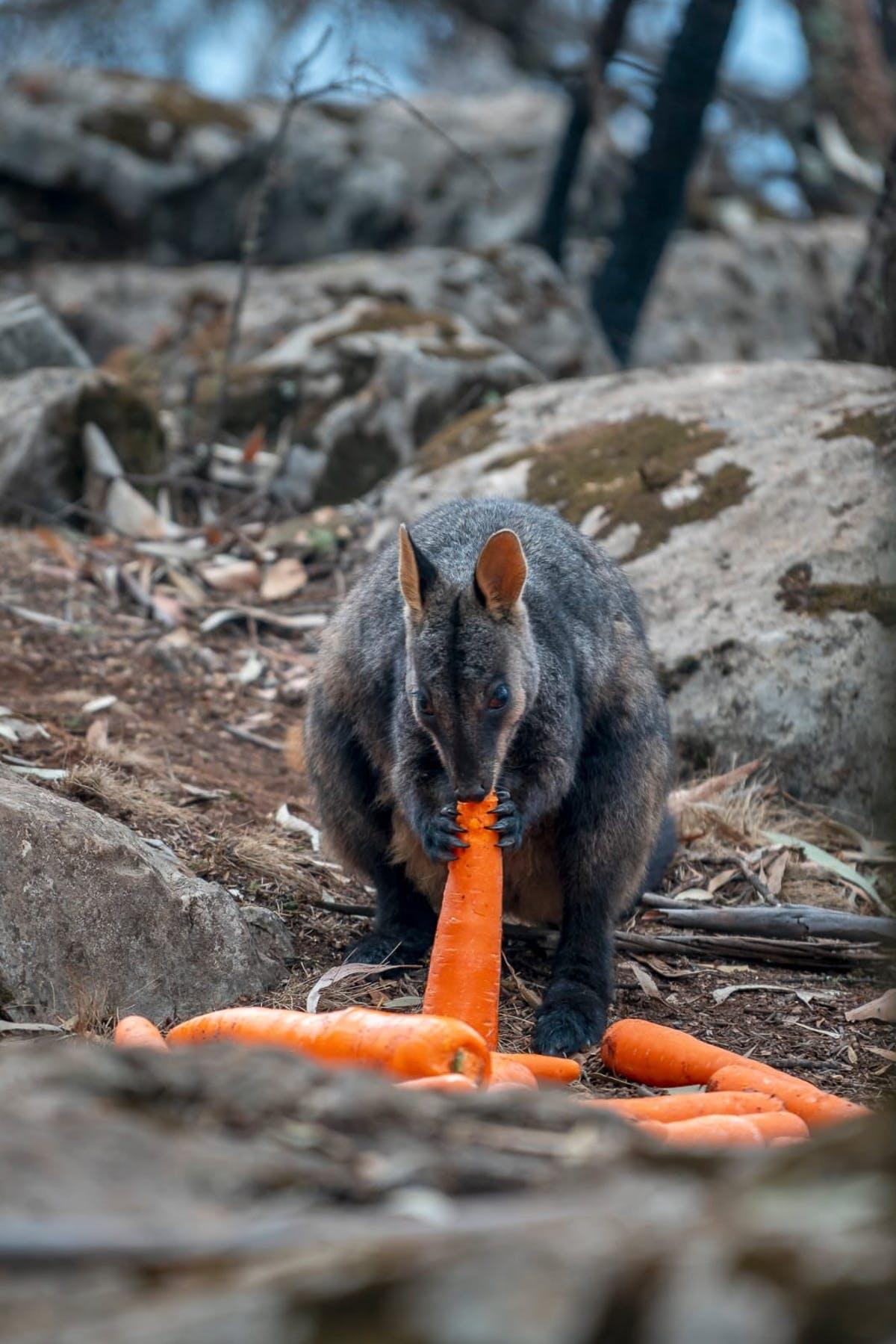 Australia: Helicópteros lanzan zanahorias y agua para alimentar a walabíes que se recuperan de los incendios