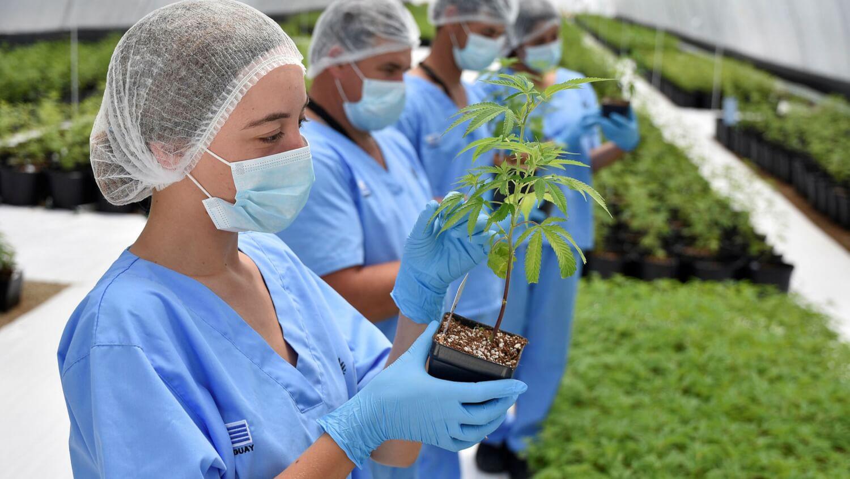 Uruguay incorporó a su sistema de salud pública una clínica de cannabis