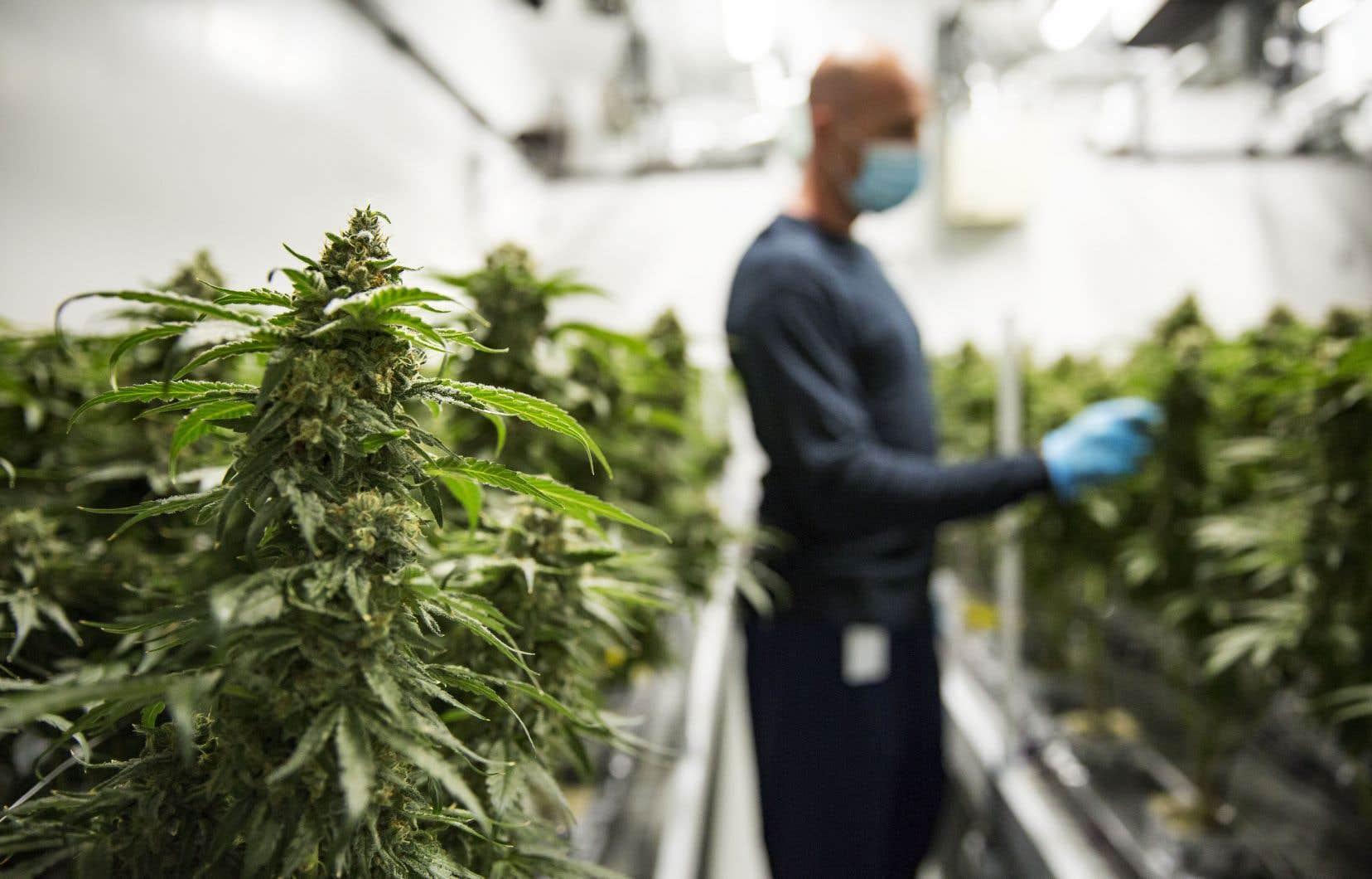 La legalización del cannabis impacta en la reducción de la delincuencia más de lo que se cree, según estudio
