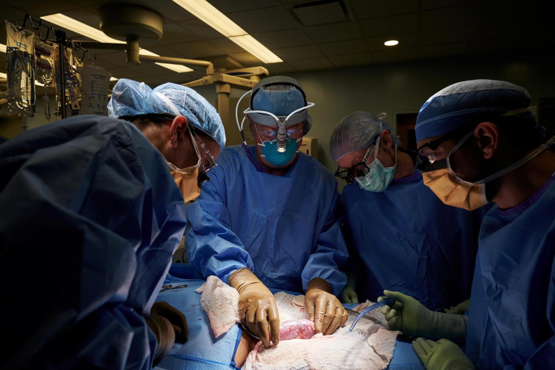Por vez primera se trasplanta con éxito un riñón de cerdo a un humano