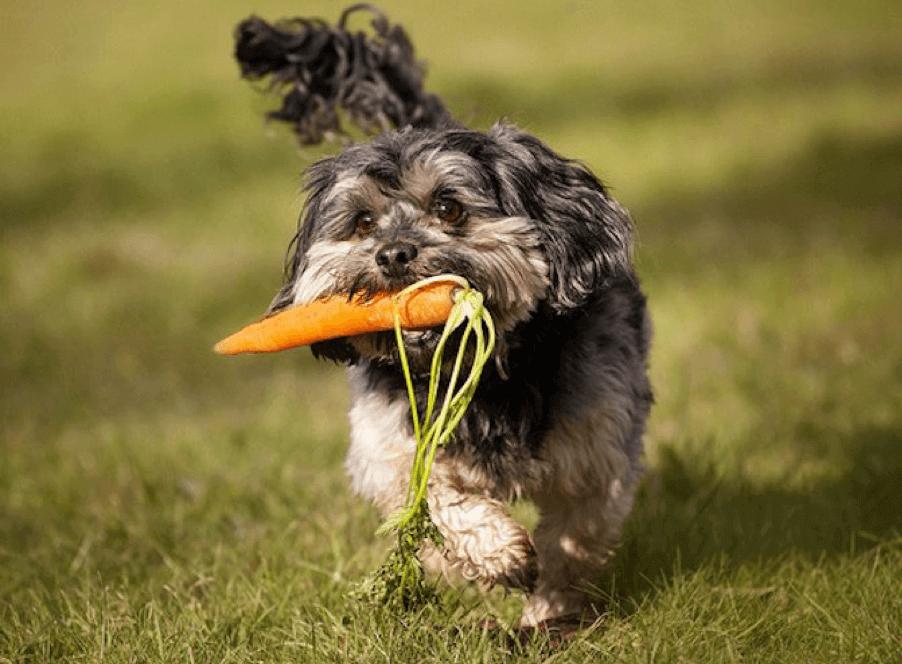 Los perros y gatos pueden tener una dieta vegana saludable, de acuerdo a un nuevo estudio
